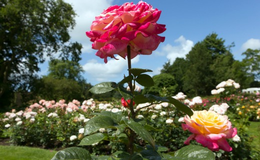 Vote for your favourite rose in Westbroekpark