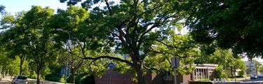 Bomen in Den Haag - De Es